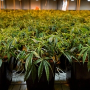 Le cannabis est-il efficace contre le Covid-19 ?